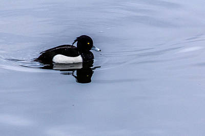 Barrow In Furness Wall Art - Photograph - Tufted Duck by Keith Elliott