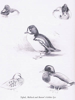 Waterfowl Drawing - Tufted Ducks, Mallards, Barrows Goldeneye by Archibald Thorburn