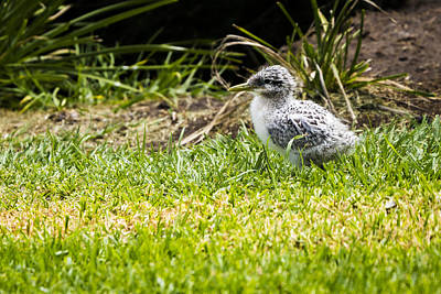 Photograph - Crested Tern Chick - Montague Island - Nsw - Australia by Steven Ralser