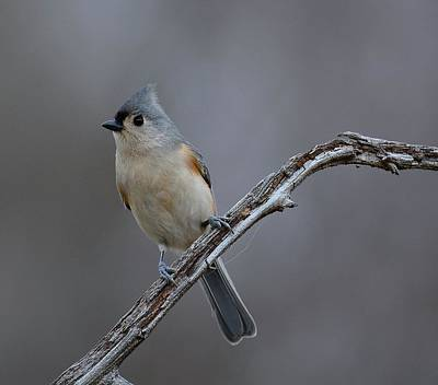 Tufted Titmouse Photograph - Tufted Titmouse 2 by Todd Hostetter