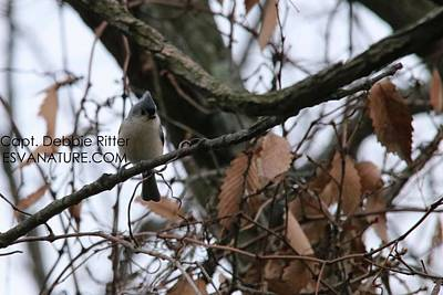 Photograph - Tufted Titmouse 2718 by Captain Debbie Ritter