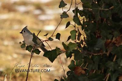 Photograph - Tufted Titmouse 3433 by Captain Debbie Ritter