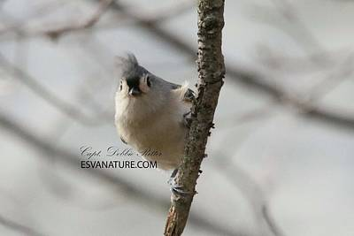 Photograph - Tufted Titmouse 5838 by Captain Debbie Ritter