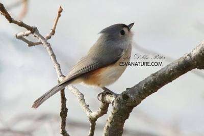 Photograph - Tufted Titmouse 5842 by Captain Debbie Ritter