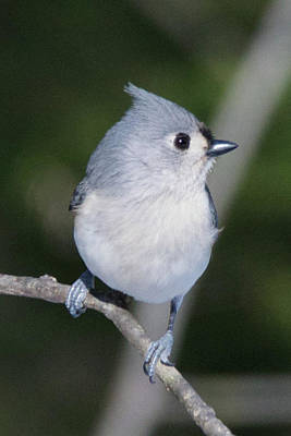 Photograph - Tufted Titmouse 7952 by Michael Peychich