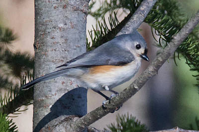 Photograph - Tufted Titmouse 7955 by Michael Peychich