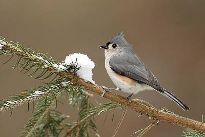 Titmouse Photograph - Tufted Titmouse by Alan Lenk