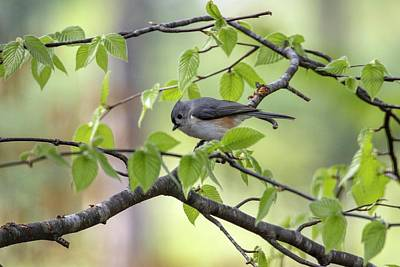 Photograph - Tufted Titmouse by Betty Pauwels