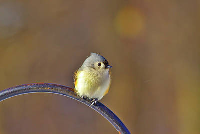 Photograph - Tufted Titmouse by Brad Chambers