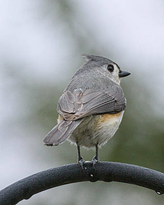 Nature Photograph - Tufted Titmouse  by Brian Caldwell