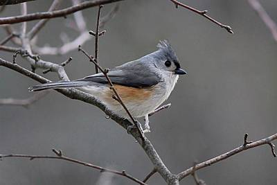 Tufted Titmouse Photograph - Tufted Titmouse Brightens Winter Gray by Linda Crockett
