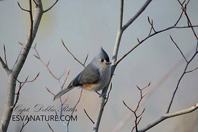 Photograph - Tufted Titmouse by Captain Debbie Ritter