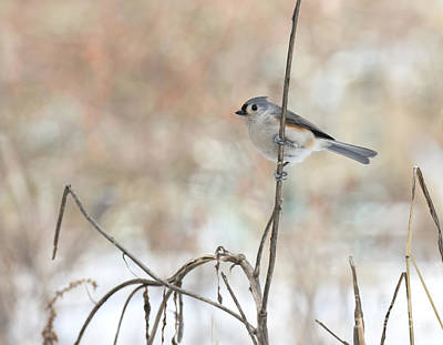 Photograph - Tufted Titmouse by Charles Owens