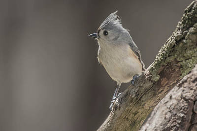 Photograph - Tufted Titmouse Img 1 by Bruce Pritchett