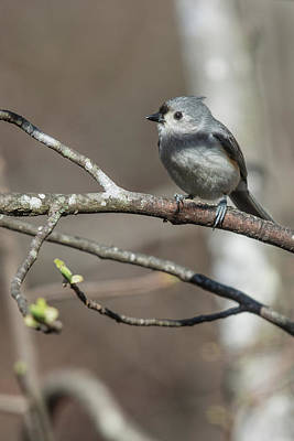 Photograph - Tufted Titmouse In A Tree by John Haldane