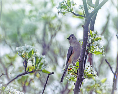 Photograph - Tufted Titmouse In Spring Blossoms by Kerri Farley