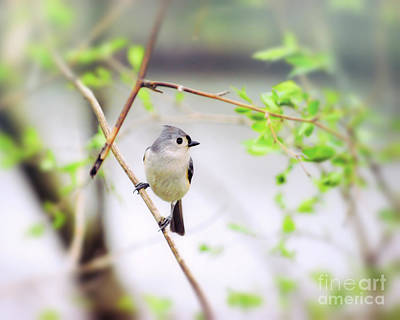 Photograph - Tufted Titmouse In Spring Green by Kerri Farley