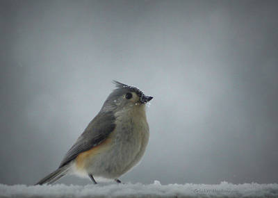 Tufted Titmouse Photograph - Tufted Titmouse In The Snow by Cricket Hackmann