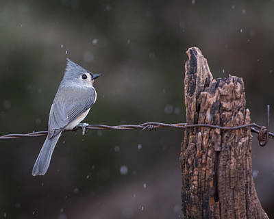 Tufted Titmouse Photograph - Tufted Titmouse In The Snow by Larry Pacey