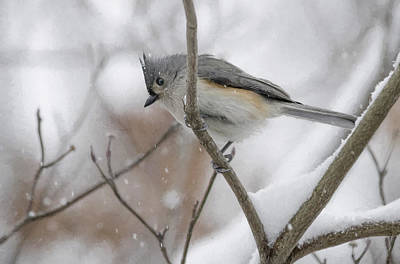 Tufted Titmouse Digital Art - Tufted Titmouse by Julie Wagaman