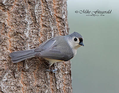 Photograph - Tufted Titmouse by Mike Fitzgerald