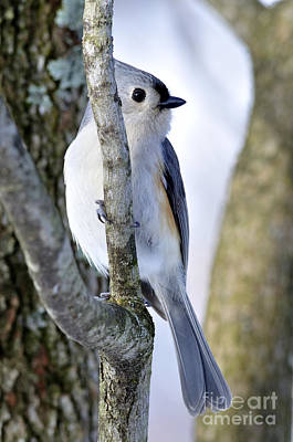 Parus Bicolor Photograph - Tufted Titmouse On Dogwood by Thomas R Fletcher