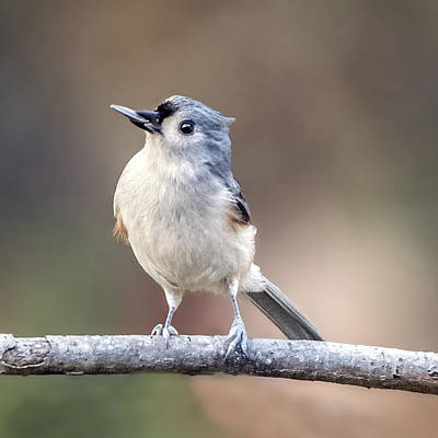 Photograph - Tufted Titmouse Perched With Sun Flower Seed In His Beak by William Bitman