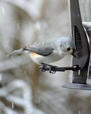 Tufted Titmouse Photograph - Tufted Titmouse by Philip Ralley