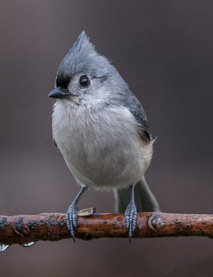Photograph - Tufted Titmouse Profile by William Bitman