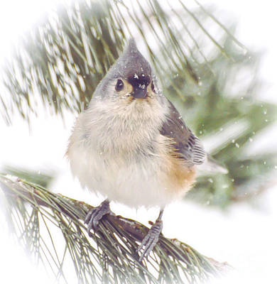 Photograph - Tufted Titmouse Snow Face by Kerri Farley