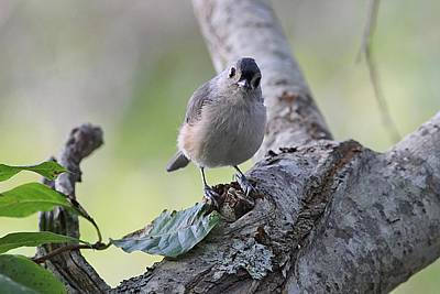 Tufted Titmouse Photograph - Tufted Titmouse Standing On A Limb by Linda Crockett