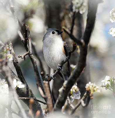 Photograph - Tufted Titmouse Surrounded By Spring by Kerri Farley