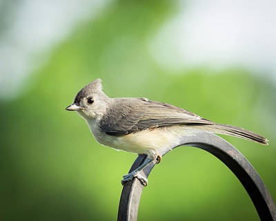 Photograph - Tufted Titmouse by Van Sutherland