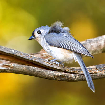 Tufted Titmouse Photograph - Tufty Needs A Comb by Bill Tiepelman