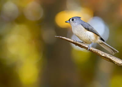 Tufted Titmouse Photograph - Tufty On Fall Bokeh Perch by Bill Tiepelman