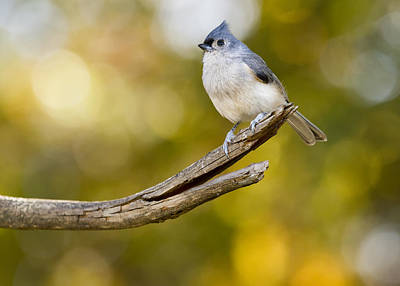 Tufted Titmouse Photograph - Tufty On Top by Bill Tiepelman