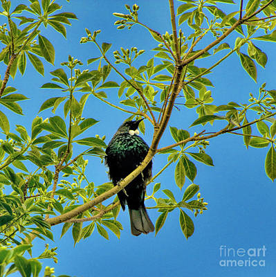 Photograph - Tui Bird by Karen Lewis