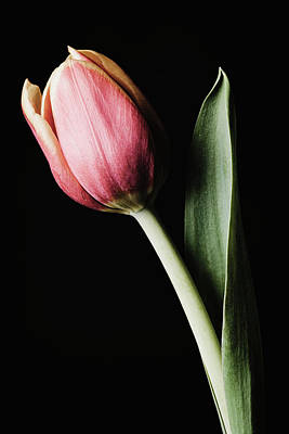 Photograph - Tulip #171 by Desmond Manny