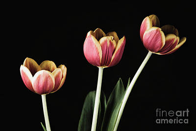 Photograph - Tulip #176 by Desmond Manny