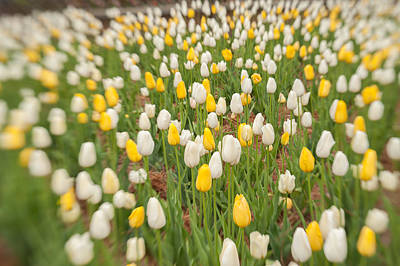 Photograph - Tulip 2 by Joye Ardyn Durham