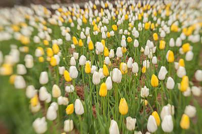 Photograph - Tulip 3 by Joye Ardyn Durham