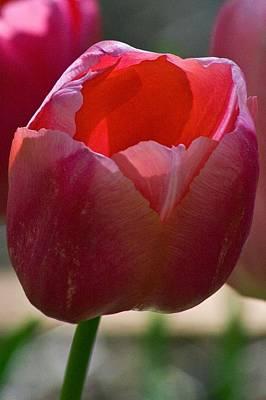 Photograph - Tulip 7 by Martha Johnson