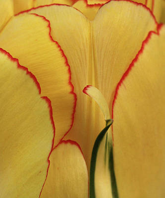 Photograph - Tulip Abstract by Inge Riis McDonald