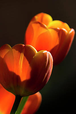 Photograph - Tulip Afternoon by Michael Hope