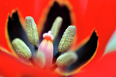 Photograph - Tulip At Amatzia Forest - 5 by Dubi Roman