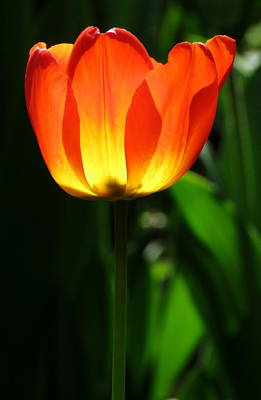 Photograph - Tulip Beacon by John Topman