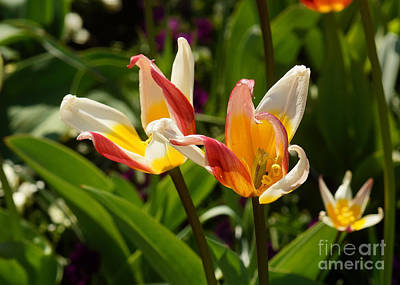 Photograph - Tulip Blossoms by Rudi Prott