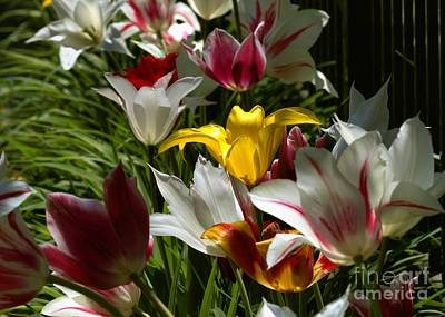 Photograph - Tulip Border by Kenny Glotfelty