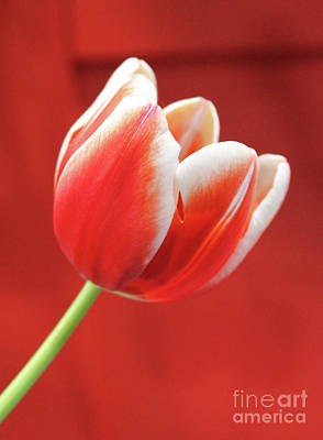 Photograph - Tulip Canadian Style by Nina Silver