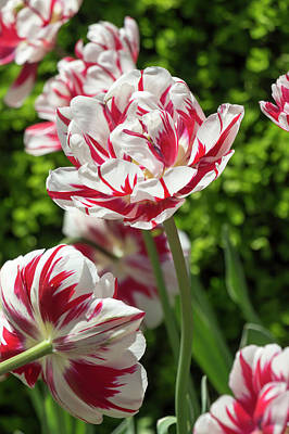 Photograph - Tulip Carnival De Nice by Dawn Cavalieri